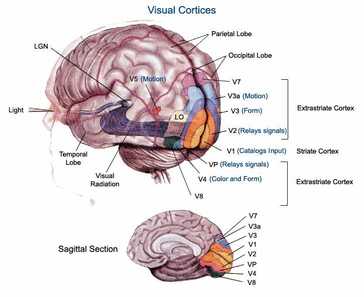 Corteccia visiva