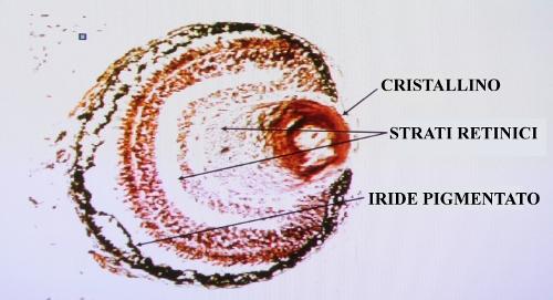 Occhio in nuce ottenuto mediante clonazione di cellule muscolari (riprogrammate). Diaspositiva proiettata il 12 aprile 2013 da J. Gurdon alla Città del Vaticano