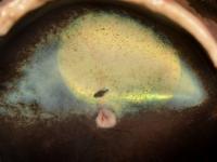 la retina canina ha risposto positivamente alla terapia genica contro l'amaurosi congenita di Leber