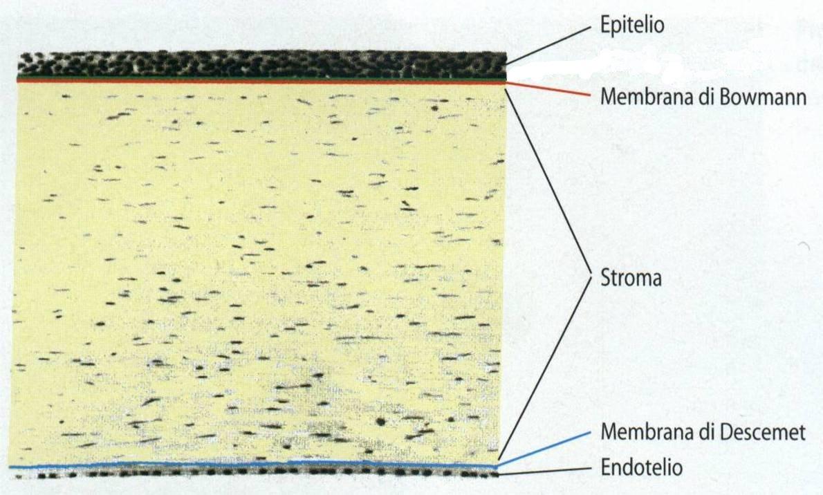Strati della cornea (superficie oculare che, quando è sana, è trasparente)