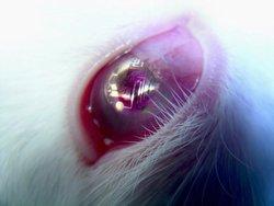 Foto: lente a contatto elettronica applicata a occhi di coniglio