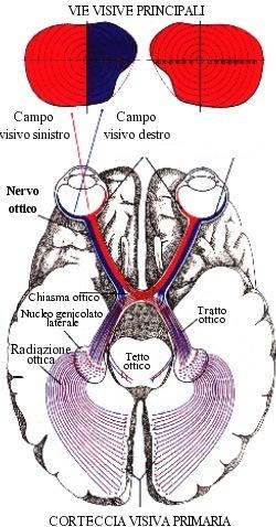 Vie ottiche principali (tra cui il nervo ottico)