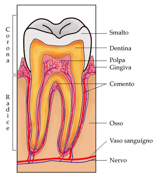 Sezione di un dente (Fonte: wikipedia)