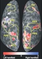 Aree della corteccia cerebrale deputate alla ricerca visiva (immagine: PLoS ONE,