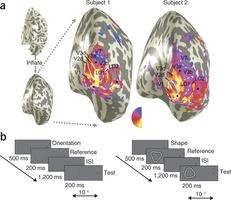 Attività della corteccia cerebrale occipitale laterale (Fonte: Nature Neuroscience 2013)
