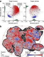 Aree corticali dell'attenzione selettiva durante la ricerca di esseri umani o di veicoli
