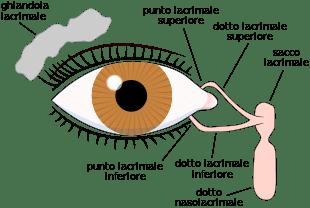 Apparato lacrimale (Fonte: wikip.)
