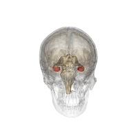 Ci sono strutture cerebrali deputate all'orientamento (l'ippocampo è evidenziato in rosso)